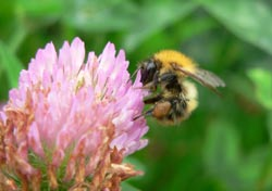 A Bumblebee (Bombus pascuorum) on Red Clover