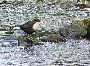 A dipper in a river ©Cradlehall. Available under Creative Commons licence on Flickr.