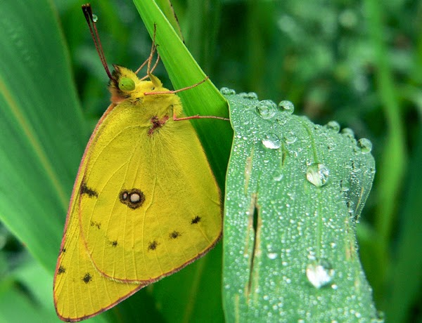 The migrant Clouded Yellow was seen in large numbers in 2013.  Photo: Tim Heoflich