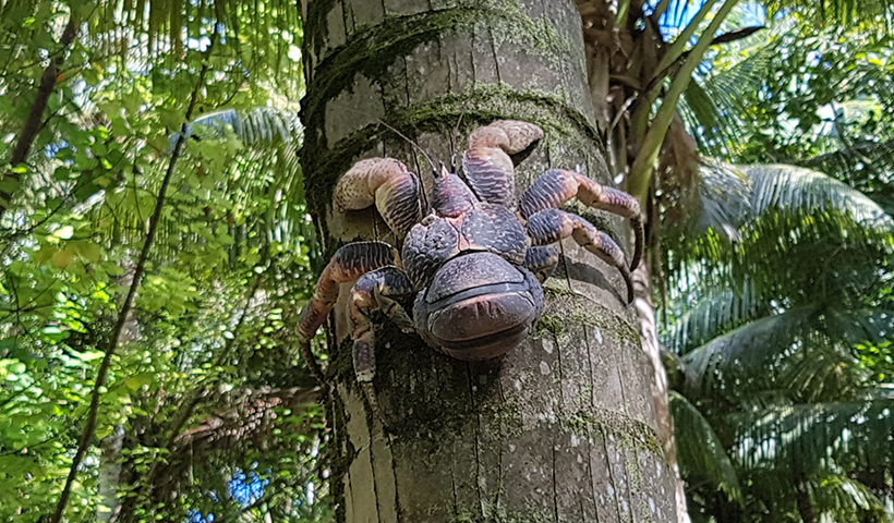 Coconut crab on Diego Garcia. Photo c. W Rabitsch