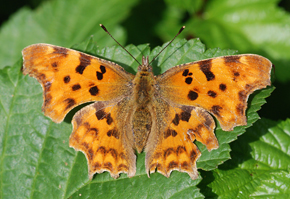 The Comma is an example of a butterfly that has spread northwards in response to climate change. Photo by Ross Newham