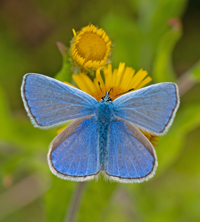 Common blue butterfly, Polyommatus icarus, photo by Ross Newham