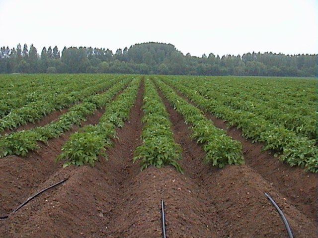 Drip irrigated potato crop
