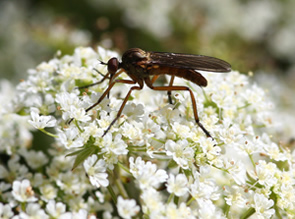 A dance-fly feeding on nectar from flowers of cow parsley, one of the plants the researchers found to be important in farmland food webs. Photo by Dr Michael Pocock.