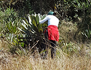 Person inspecting an Espletia plant