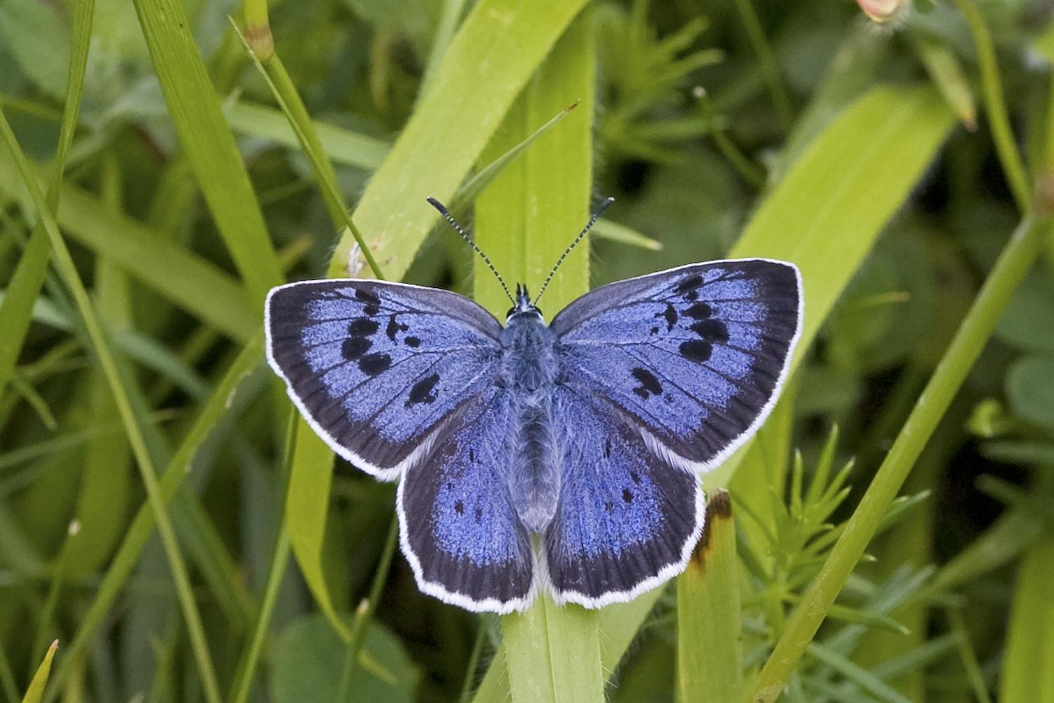 Large Blue_Photo: Keith Warmington