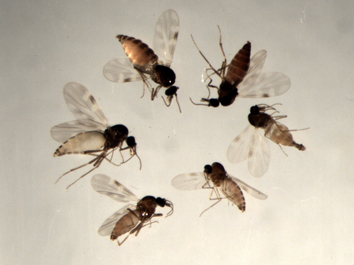 Biting midges of the Obsoletus group
