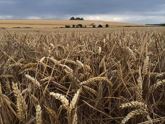 Wheat crop on an arable farm in England