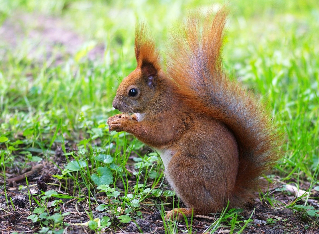 red squirrel picture pixabay
