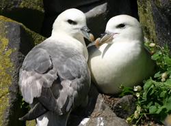 Fulmars on the Isle of May