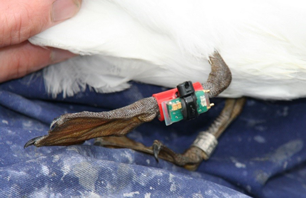Geolocator attached to kittiwake leg