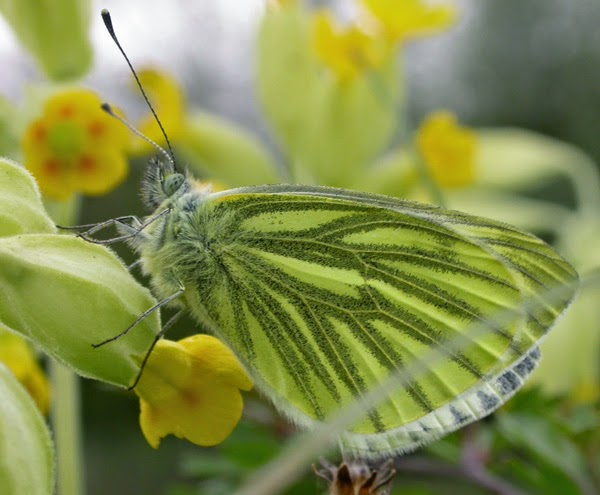 The common Green-veined white butterfly had its worst year on record in 2012 but bounced back in 2013. Photo: Ross Newham