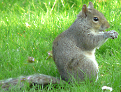 A grey squirrel, one of the surveyed species in DAISIE