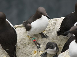 Guillemots and a chick on the Isle of May