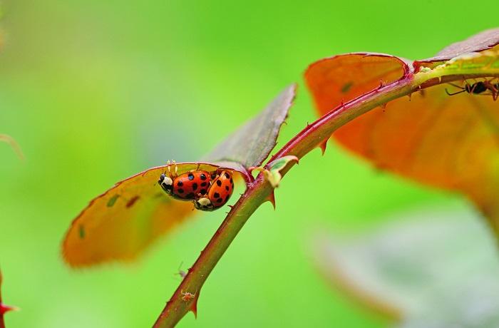 The Harlequin ladybird
