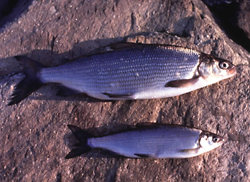 Male and female schelly fish from Haweswater