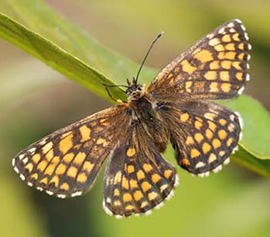 Heath fritillary butterfly