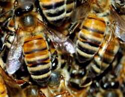 Honeybees, image by Shutterstock