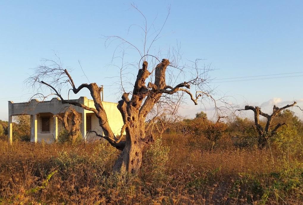 Xylella damage olive tree  Pic: Steven White