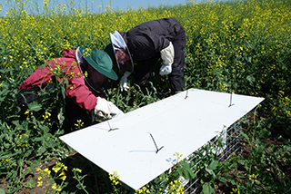 Inspecting Bombus terrestris hives in field trial