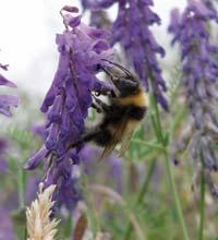 A Bombus hortorum bee