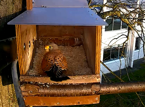 Kestrel in the newly installed nest box in March 2016