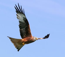 Predatory birds, like red kites, are vulnerable to pesticides