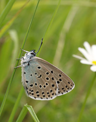 A Large Blue butterfly photo by David Simcox