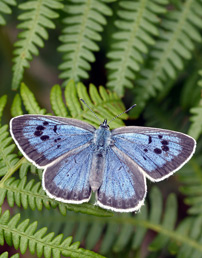 Large Blue butterfly (photo by David Simcox/CEH)