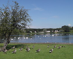 Waterfowl by Linlithgow loch on a sunny day