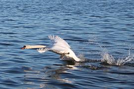 Swan on Loch Leven
