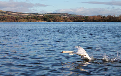 Swan on Loch Leven (photo by Laurence Carvalho)