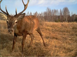 Camera trap photo from Chernobyl Exclusion Zone