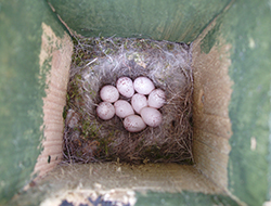 Marsh tit nest with eggs in a nestbox