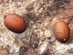 Microdon mutabilis pupae.  Photo by Dr Karsten Schönrogge
