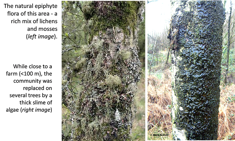 Mosses and algae on two tree trunks