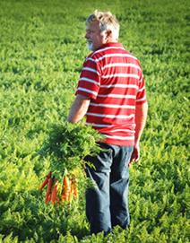 A farmer collecting a carrot crop