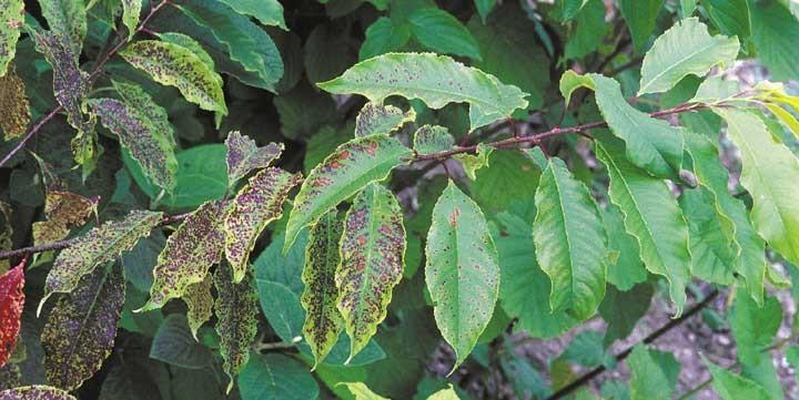 Ozone damaged leaves on trees