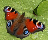 Some butterflies, like the Peacock, are increasing at northern upland sites. Photo: Shutterstock