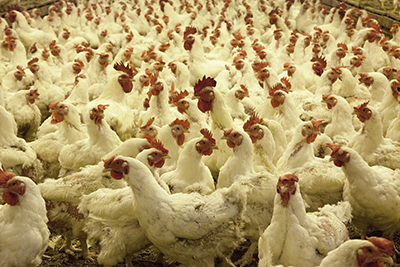 Chickens inside a poultry farm
