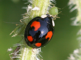 Harlequin ladybird (Harmonia axyridis). Photo by Ken Dolbear