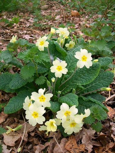 Primroses Photo on Flickr by anemoneprojectors used under  Creative Commons licence.