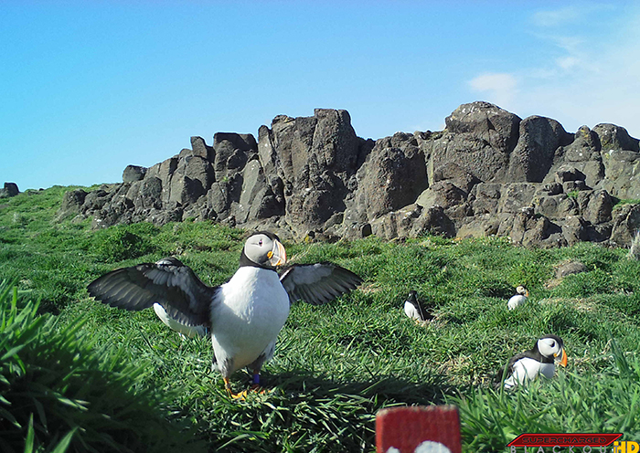 Puffins on the Isle of May camera trap photo