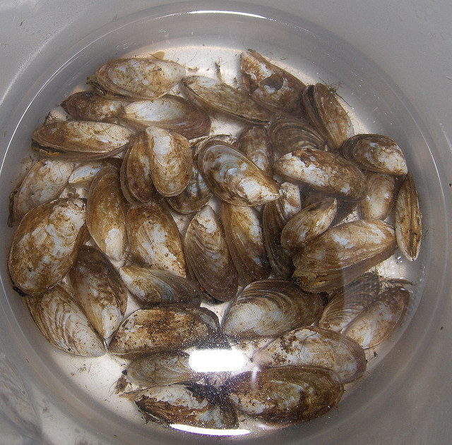 CEH-led researchers identified the top 10 potential invasive species threats to UK biodiversity including quagga mussels (above) which were later reported in parts of England.