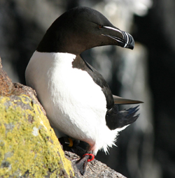 Razorbill with a coloured ring
