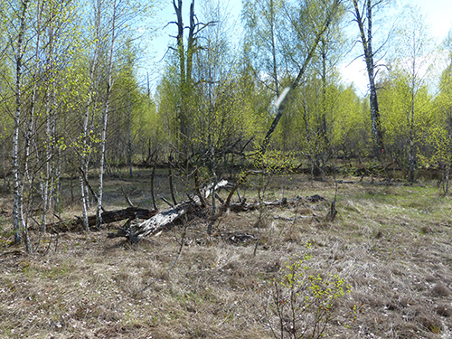 Red Forest, Chernobyl in April 2016