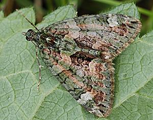 Red-green carpet moth on a leaf