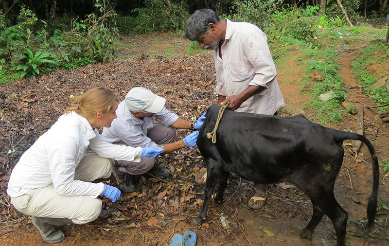 Removing ticks from a cow