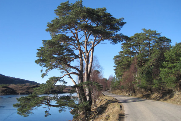 Scots pine tree by a roadside and a lake