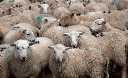 Sheep in Snowdonia, Wales. Photo: Gail Johnson/Shutterstock.com